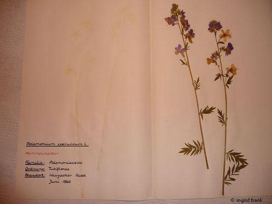 (92) Polemonium caeruleum - Himmelsleiter