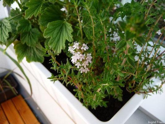 16.06.2013-Thymus vulgaris - Echter Thymian, Gewürz-Thymian