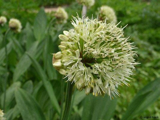 Allium victorialis / Allermannsharnisch   VII-VIII
