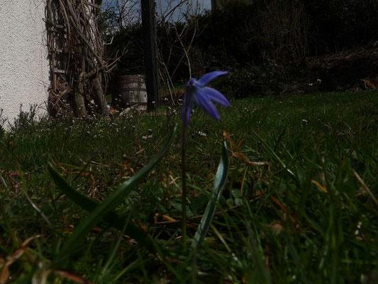 Scilla bifolia / Zweiblättriger Blaustern