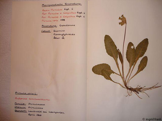 (84) Primula veris - Duftende Schlüsselblume