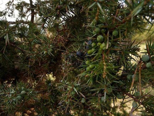 Juniperus communis - Gewöhnlicher Wacholder