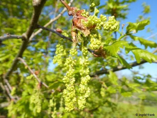 06.05.2020 - Lochmoos (männliche Blüten)
