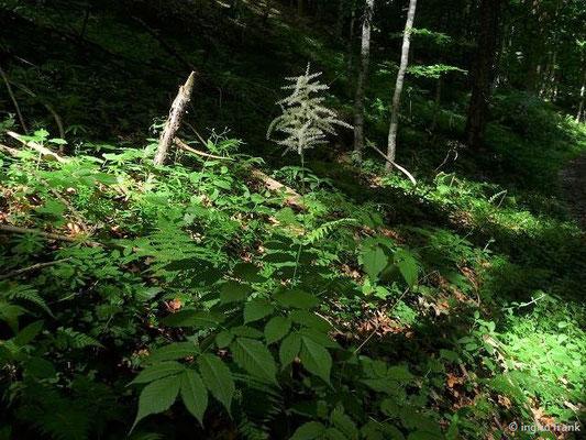 Aruncus dioicus / Wald-Geissbart