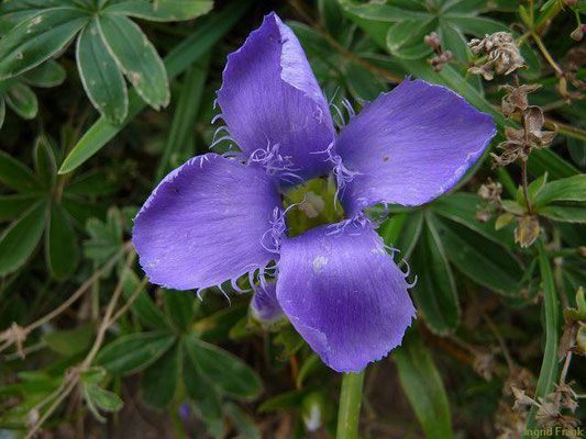 Gentianopsis ciliata / Gewöhnlicher Fransenenzian