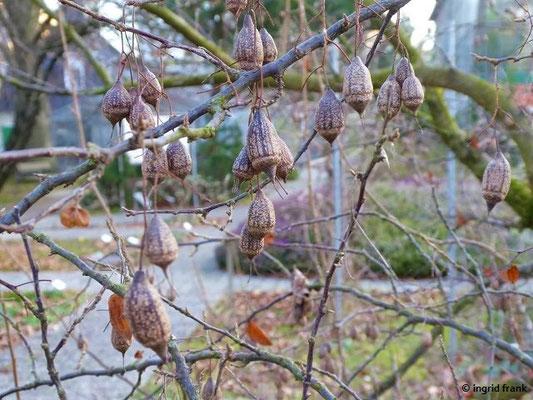 Sinojackia xylocarpa (Botanischer Garten Universität Heidelberg)