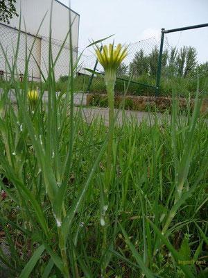 29.05.2010-Tragopogon dubius - Großer Bocksbart