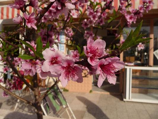 Prunus perisca - Pfirsichbaum (Türkische Ägäis)
