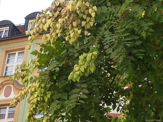 Staphylea - Pimpernuss