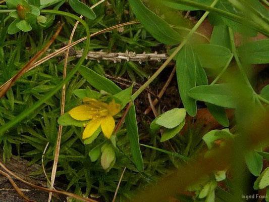 Hypericum humifusum - Niederliegendes Johanniskraut