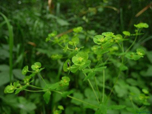 Euphorbia stricta - Steife Wolfsmilch