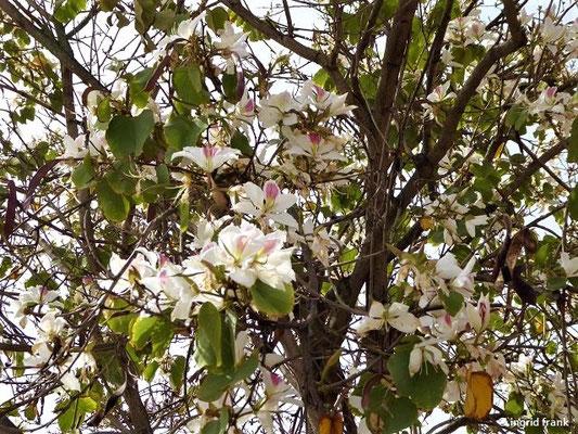 Bauhinia - Ochideenbaum (Gran Canaria)
