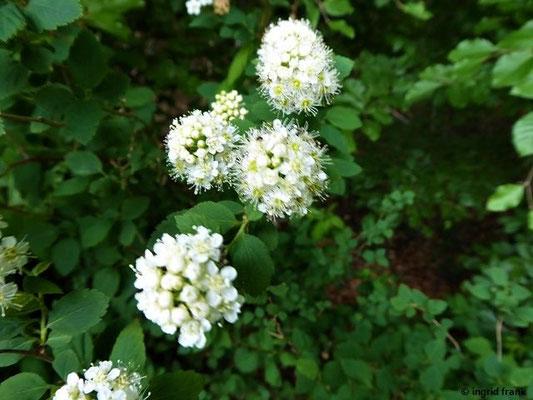 Spiraea chamaedryfolia - Ulmen-Spierstrauch
