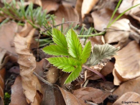 Aegopodium podagraria - Gewöhnlicher Giersch, Geißfuß
