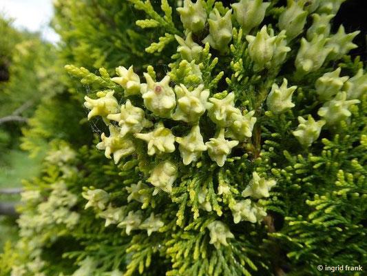 Platycladus orientalis - Orientlebensbaum