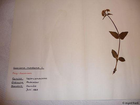 (119) Valeriana montana - Berg-Baldrian