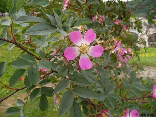Rosa glauca / Rotblättrige Rose