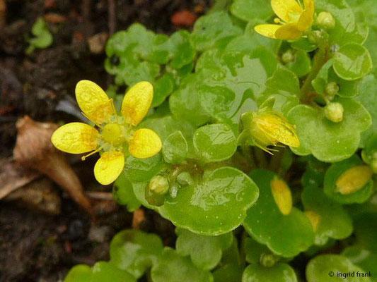 Saxifraga cymbalaria - Zimbelkraut-Steinbrech    IV-IX    (Botanischer Erlebnisgarten Altenburg)