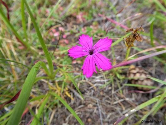 Dianthus sylvestris / Stein-Nelke