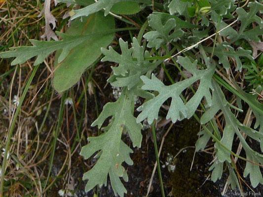 Achillea clavennae - Steinraute, Weiße Schafgarbe  (VII-IX)