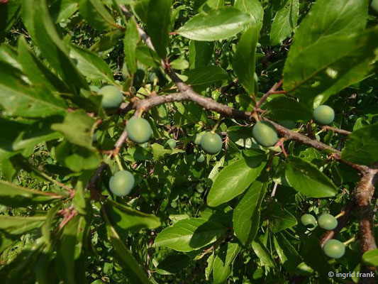 12.06.2014 - Unreife Schlehen / Prunus spinosa