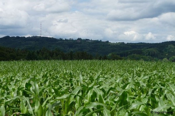 Blick über Maisfeld zum Höchsten
