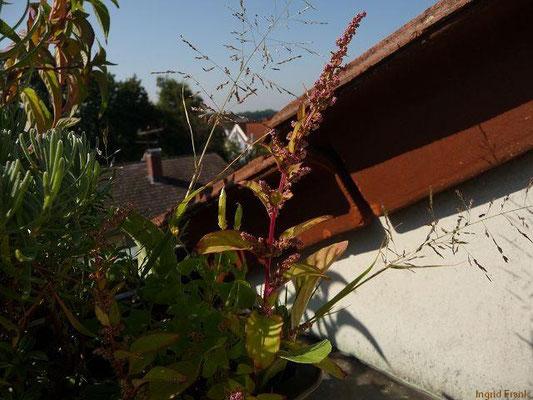 30.08.2013-Chenopodium polyspermum