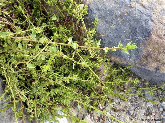Patellifolia patellaris - Napffrüchtige Rübe