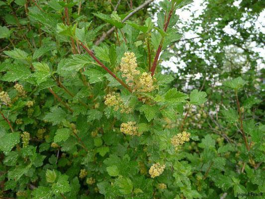 Ribes alpinum / Alpen-Johannisbeere