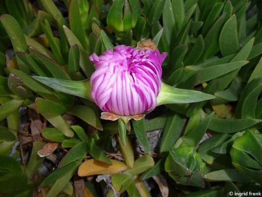 Carpobrotus acinaformis - Rote Mittagsblume (Türkische Ägäis)