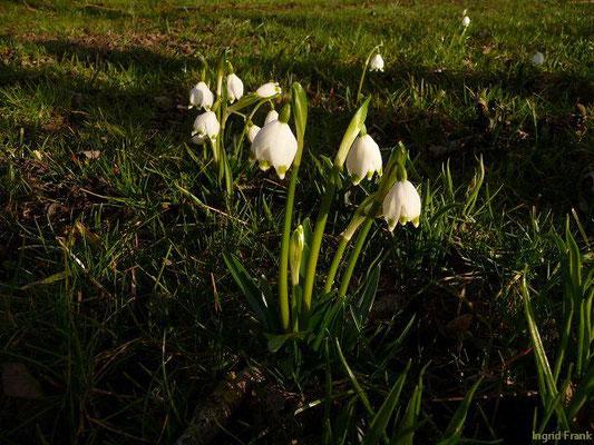 Märzenbecher, Frühlings-Knotenblume / Leucojum vernum    II-IV