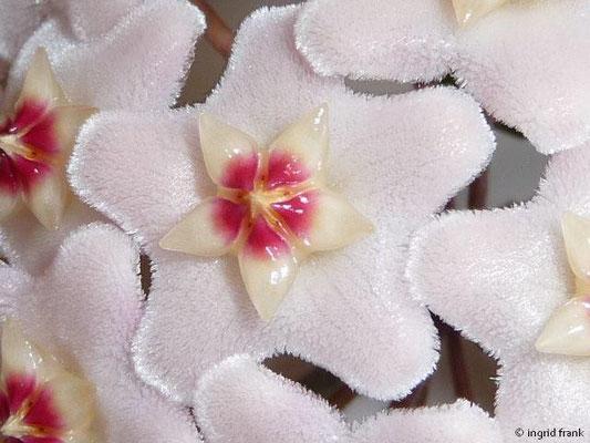 Hoya carnosa - Wachsblume (Eigene Zierpflanze / Heimat: M-China bis Australien)