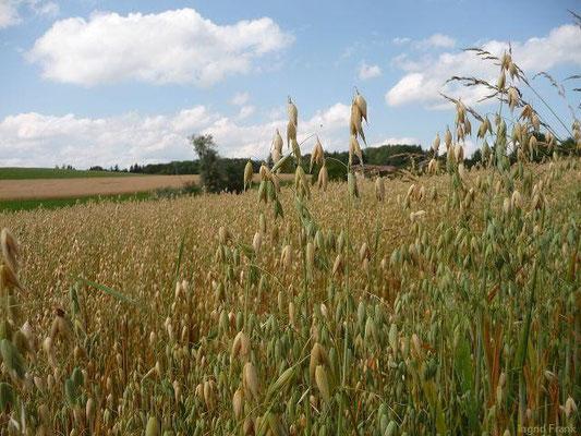 11.07.2012-Avena sativa - Saat-Hafer