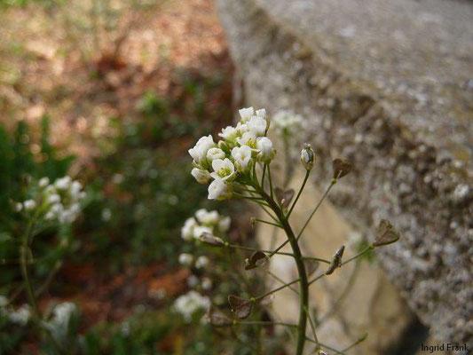 Capsella bursa-pastoris - Gewöhnliches Hirtenräschelkraut