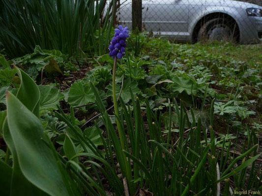 13.04.2010-Muscari botryoides - Kleine Traubenhyazinthe