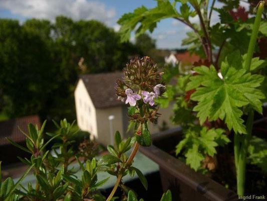 03.06.2013-Thymus pulegioides - Feld-Thymian, Quendel