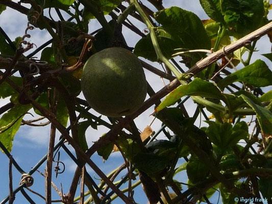 Passiflora edulis -Passionsfrucht (La Gomera)