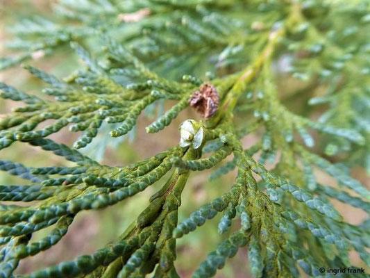 Chamaecyparis lawsoniana - Lawsons Scheinzypresse