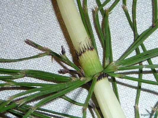 Equisetum telmateia - Riesen-Schachtelhalm