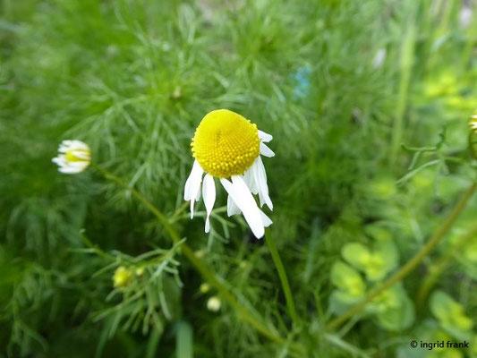 Matricaria chamomilla - Echte Kamille