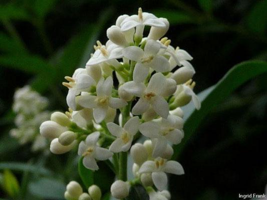Ligustrum vulgare - Gewöhnlicher Liguster