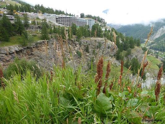 Rumex alpinus - Alpen-Ampfer    VI-VIII