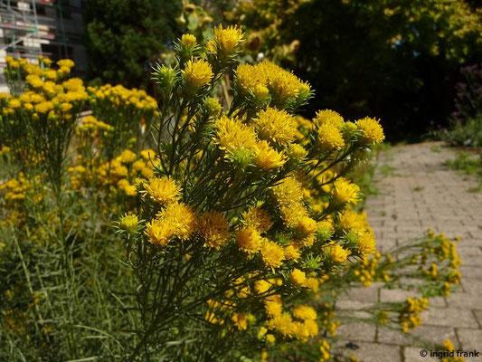 Galatella linosyris / Gold-Steppenaster,  (Botanischer Garten Universität Heidelberg)