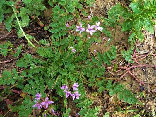 Erodium cicutarium / Gewöhnlicher Reiherschnabel