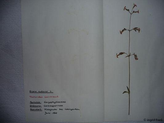 (72) Silene nutans - Nickendes Leimkraut