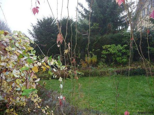 28.10.2009-Parthenocissus quinquefolia - Selbstkletternde Jungfernrebe