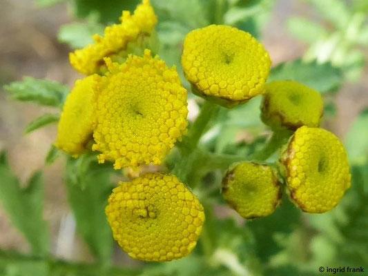 Tanacetum vulgare - Rainfarn