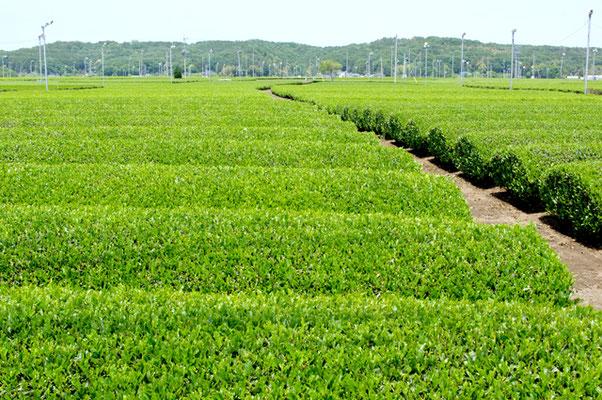 入間市「茶畑」
