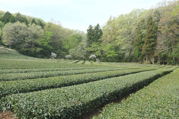西久保湿地「茶畑」