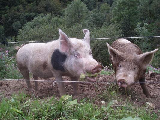 les cochons d'Esbintz